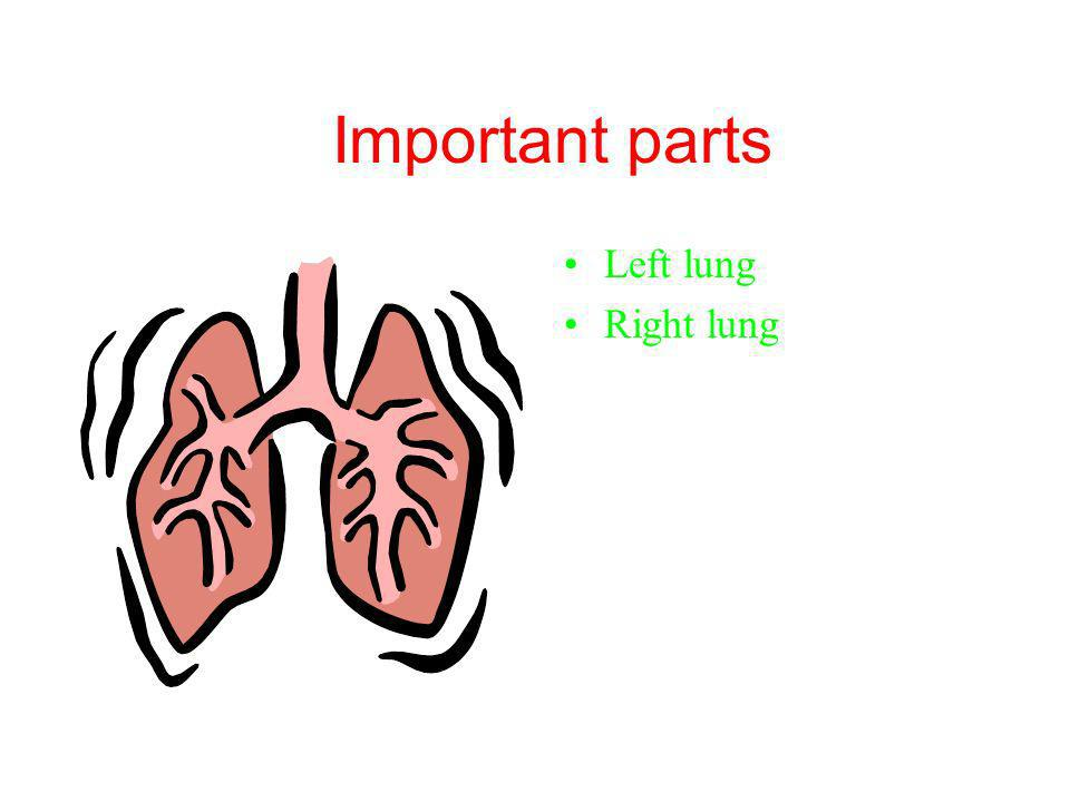 Important parts Left lung Right lung