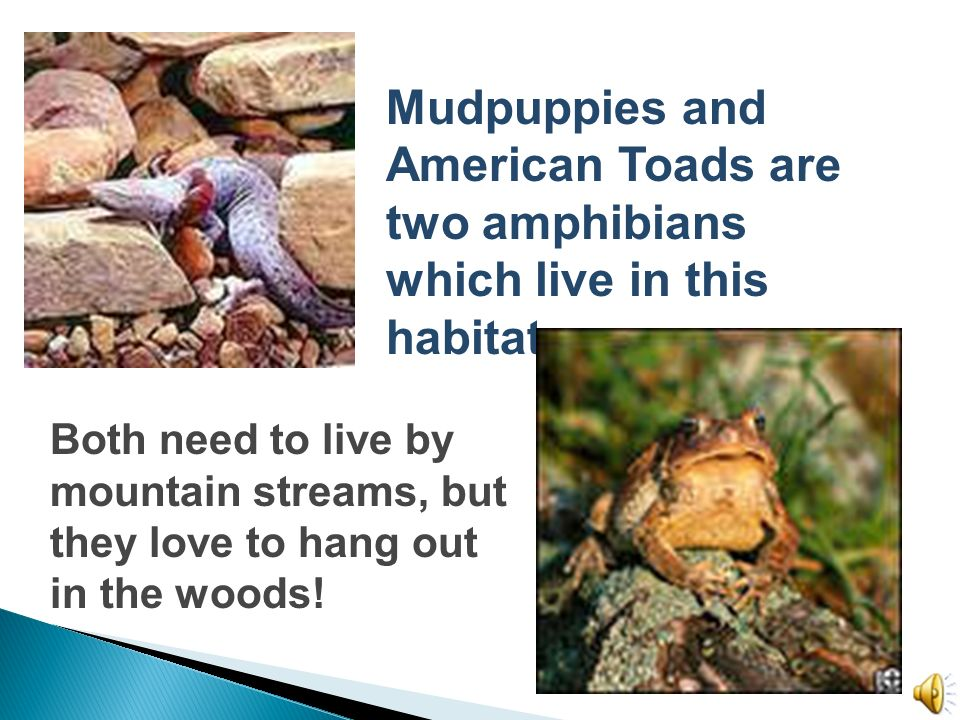 Mudpuppies and American Toads are two amphibians which live in this habitat.