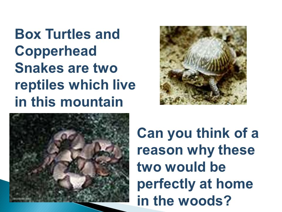 Box Turtles and Copperhead Snakes are two reptiles which live in this mountain habitat.