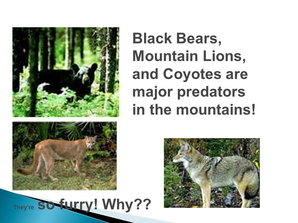 Black Bears, Mountain Lions, and Coyotes are major predators in the mountains!