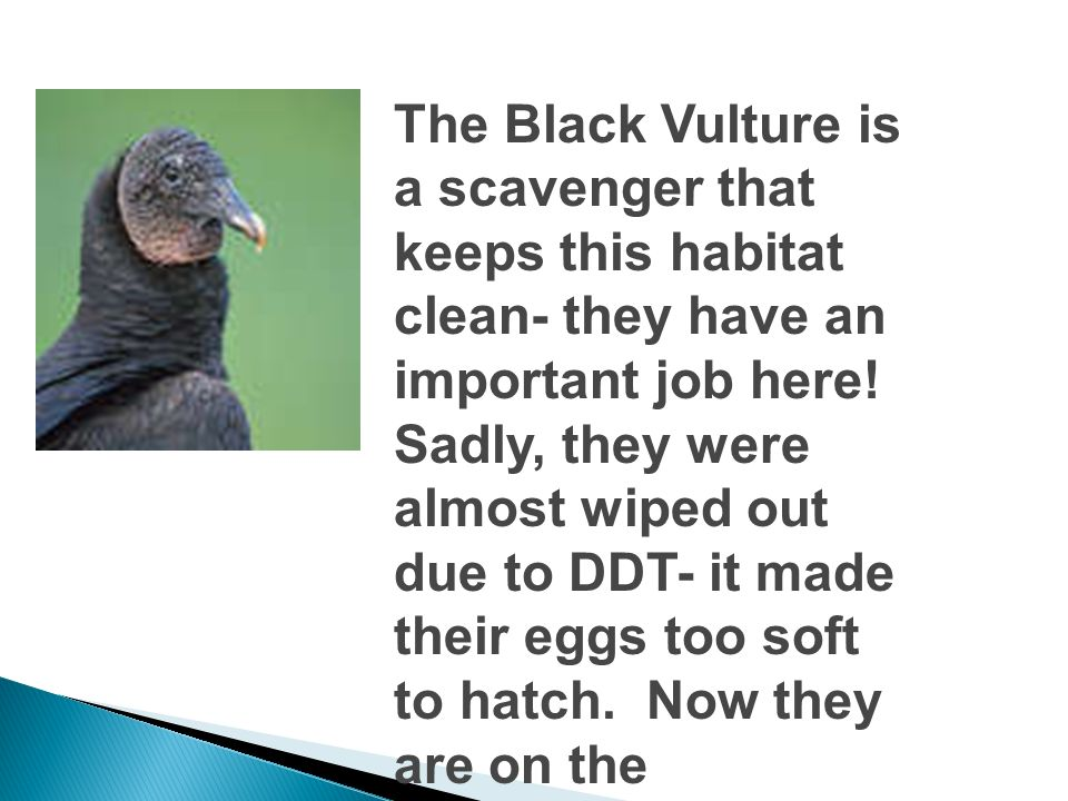 The Black Vulture is a scavenger that keeps this habitat clean- they have an important job here.