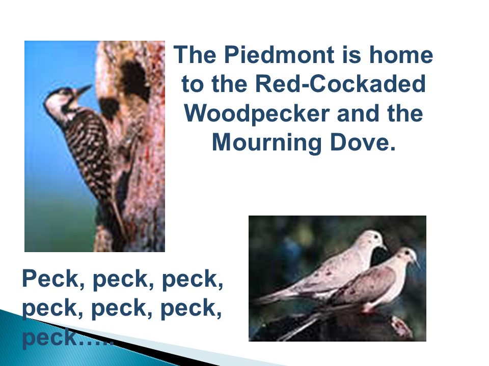 The Piedmont is home to the Red-Cockaded Woodpecker and the Mourning Dove.