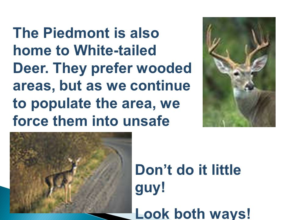 The Piedmont is also home to White-tailed Deer