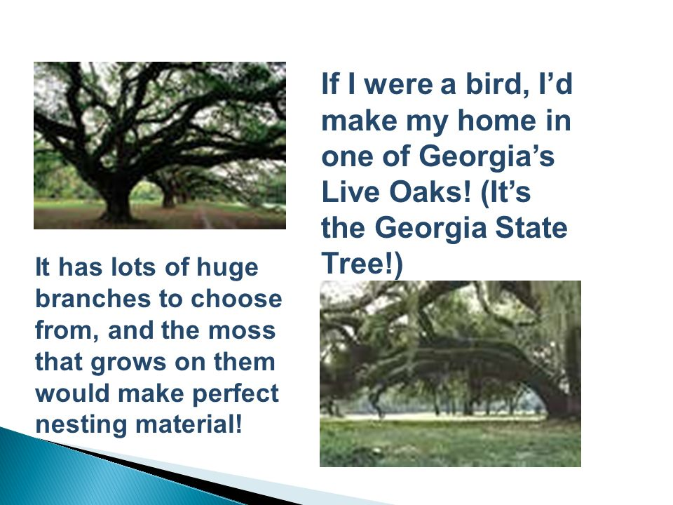 If I were a bird, I'd make my home in one of Georgia's Live Oaks