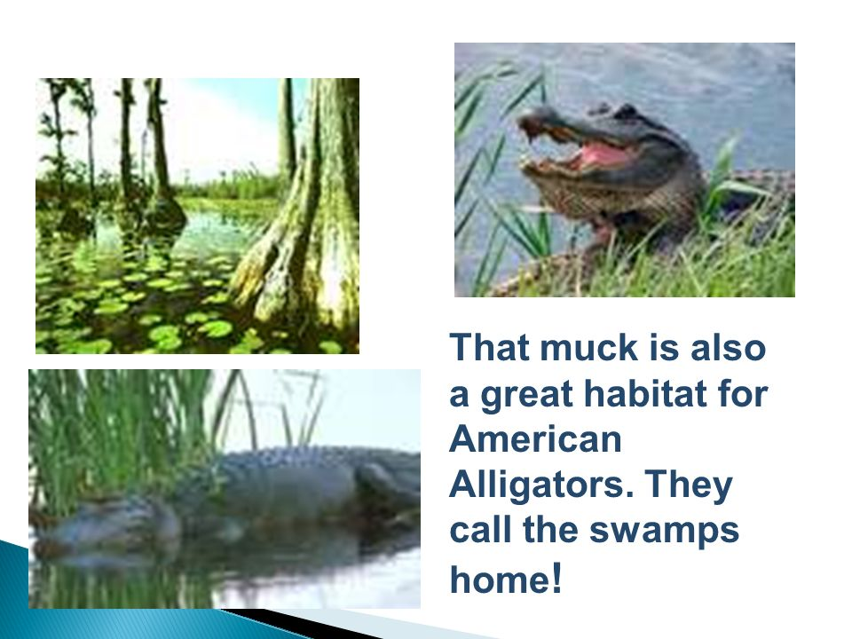 That muck is also a great habitat for American Alligators