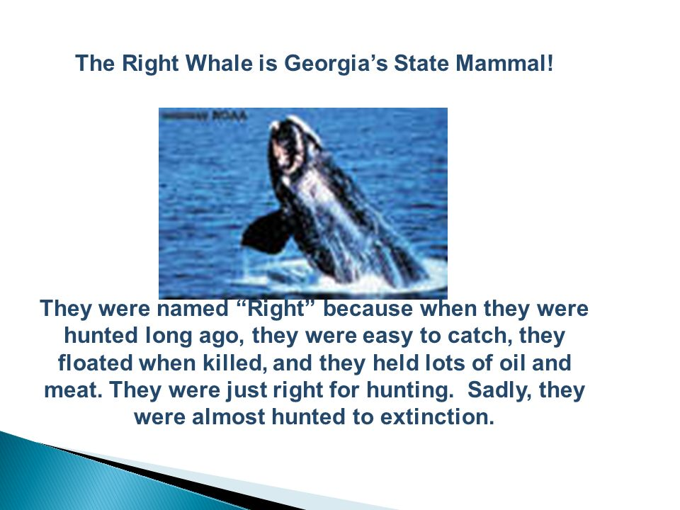 The Right Whale is Georgia's State Mammal!