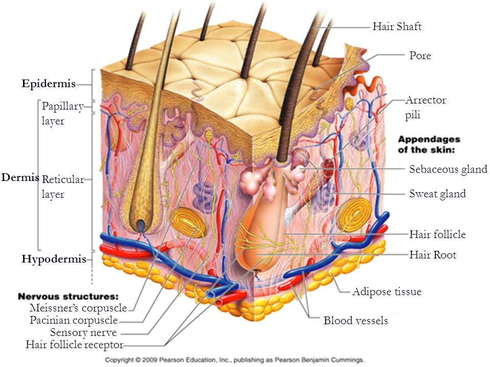 Hair Shaft Pore. Epidermis. Arrector pili. Papillary. layer. Sebaceous gland. Dermis. Reticular.