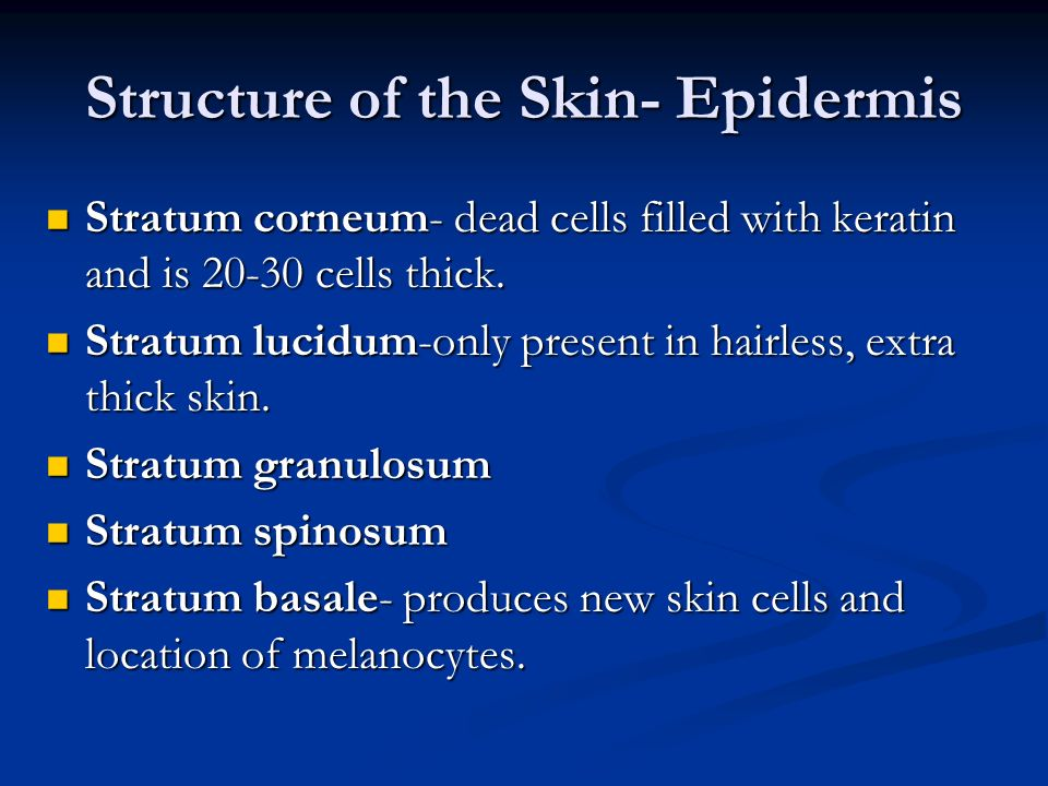 Structure of the Skin- Epidermis