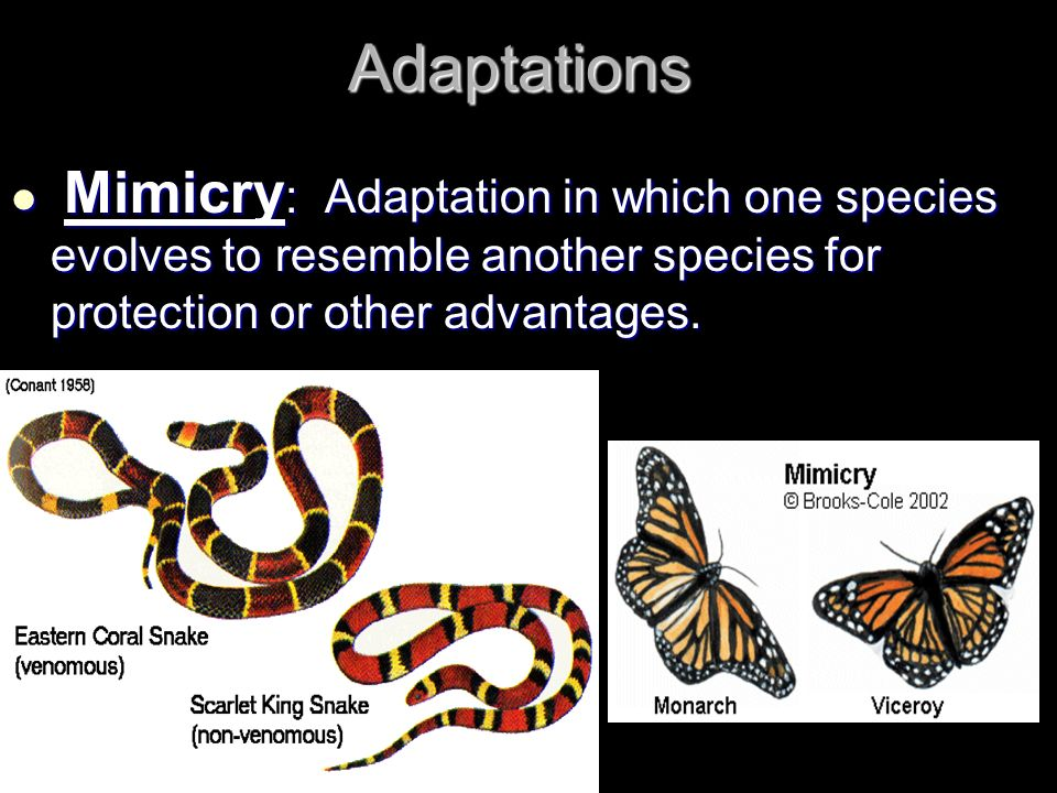 Adaptations Mimicry: Adaptation in which one species evolves to resemble another species for protection or other advantages.