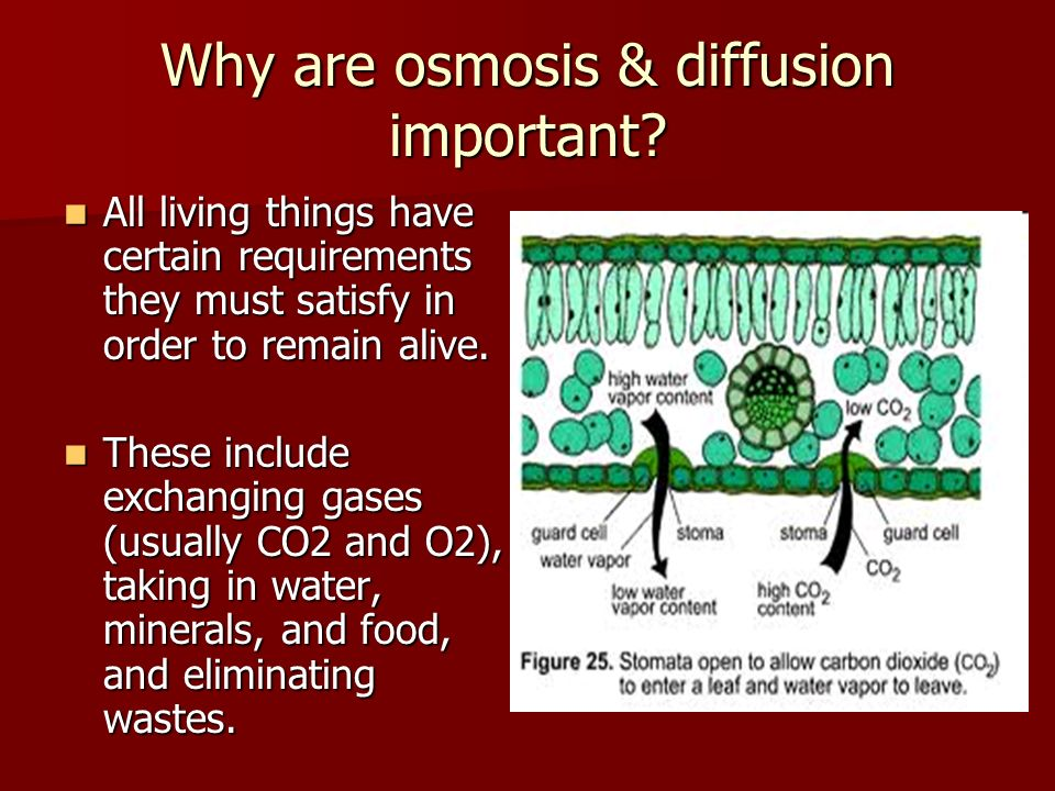 Why are osmosis & diffusion important