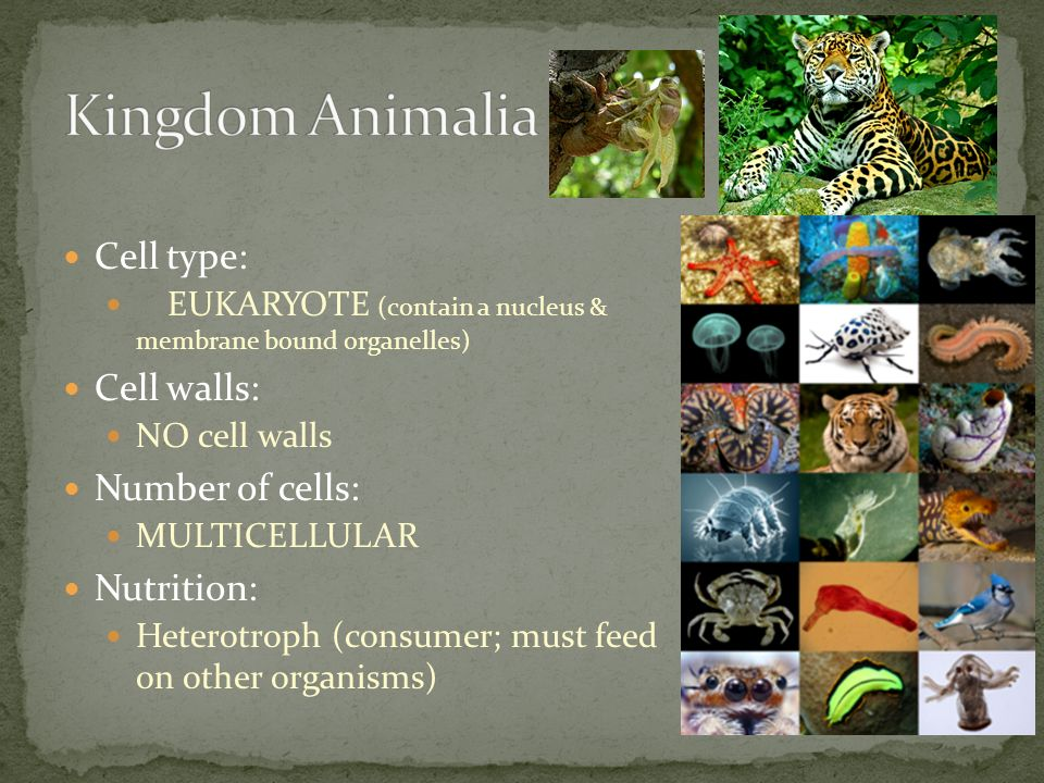 Kingdom Animalia Cell type: Cell walls: Number of cells: Nutrition: