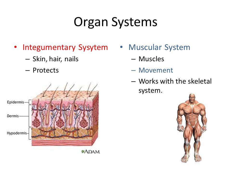 Organ Systems Integumentary Sysytem Muscular System Skin, hair, nails