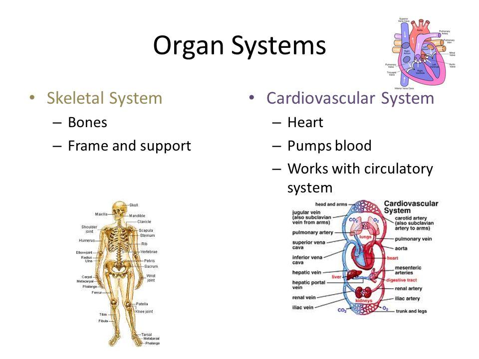 Organ Systems Skeletal System Cardiovascular System Bones