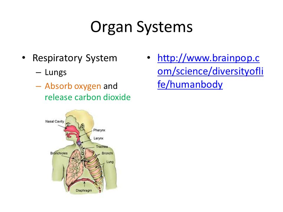 Organ Systems Respiratory System