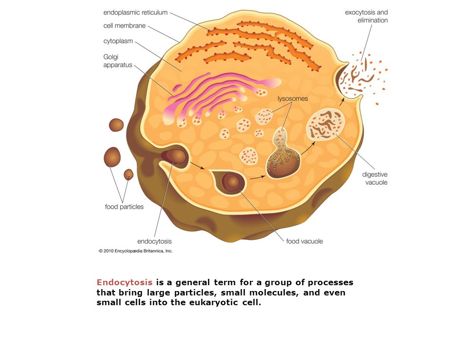 Endocytosis is a general term for a group of processes that bring large particles, small molecules, and even small cells into the eukaryotic cell.