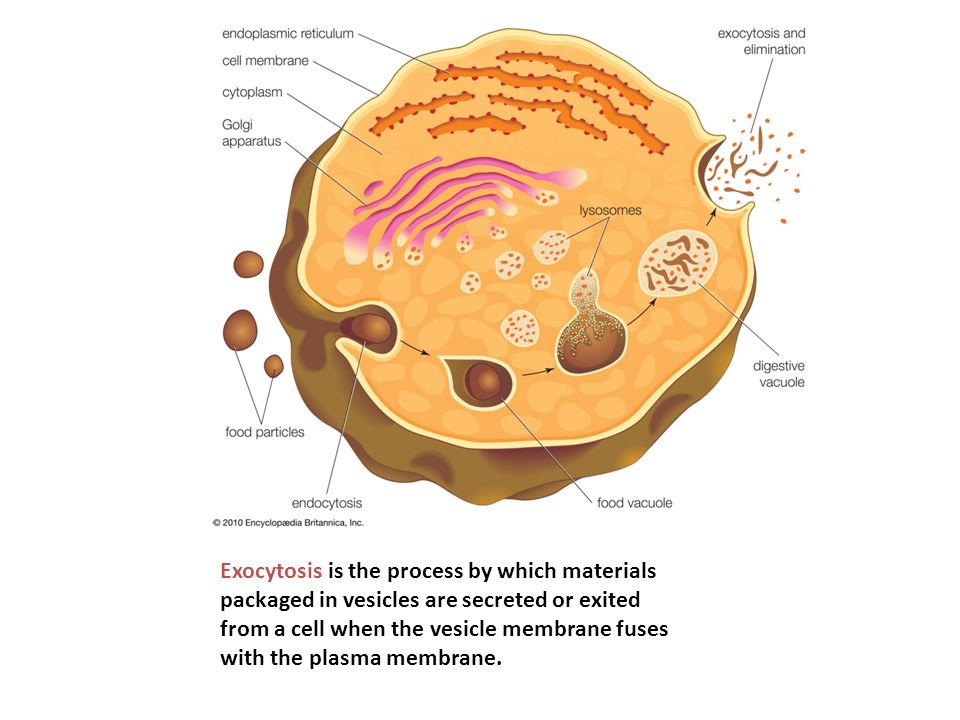 Exocytosis is the process by which materials packaged in vesicles are secreted or exited from a cell when the vesicle membrane fuses with the plasma membrane.