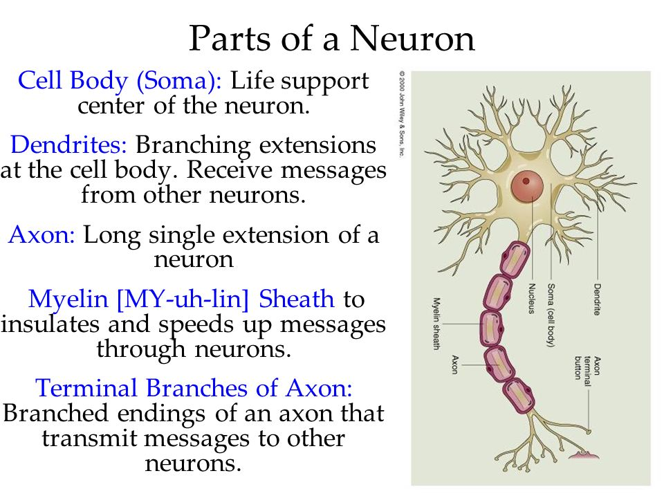 Parts of a Neuron Cell Body (Soma): Life support center of the neuron.