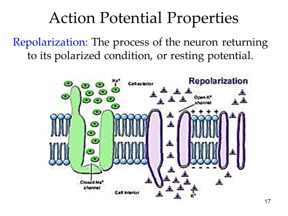 Action Potential Properties