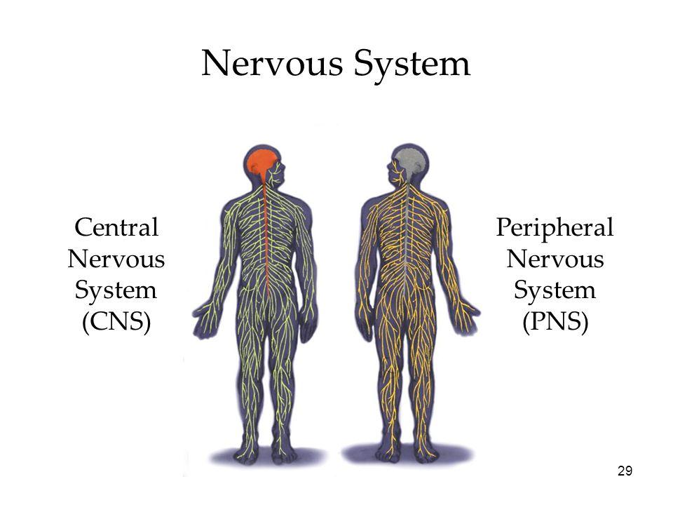Nervous System Central Nervous System (CNS) Peripheral Nervous System