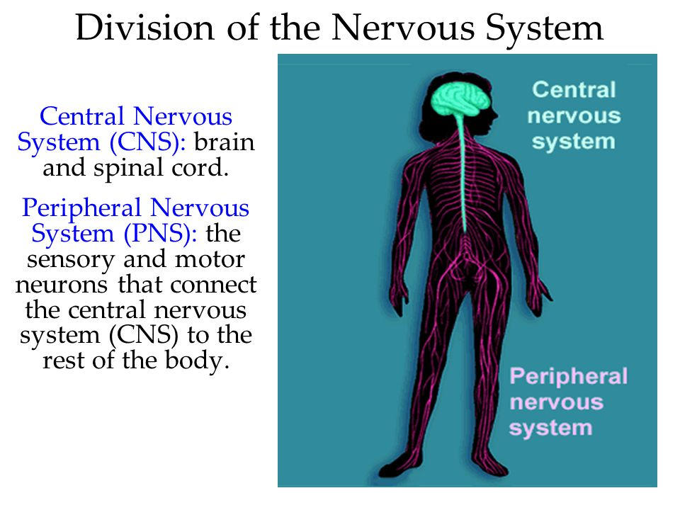 Division of the Nervous System