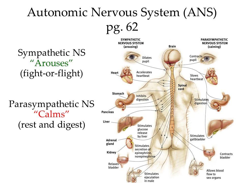 Autonomic Nervous System (ANS) pg. 62