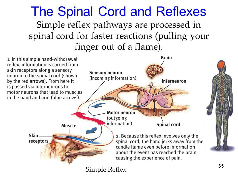 The Spinal Cord and Reflexes