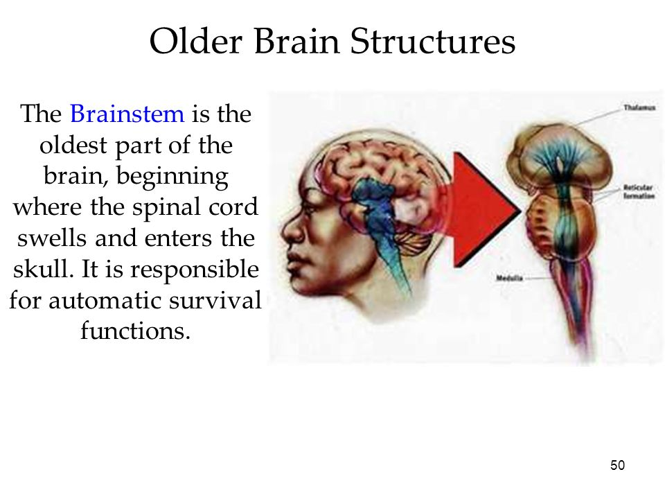 Older Brain Structures