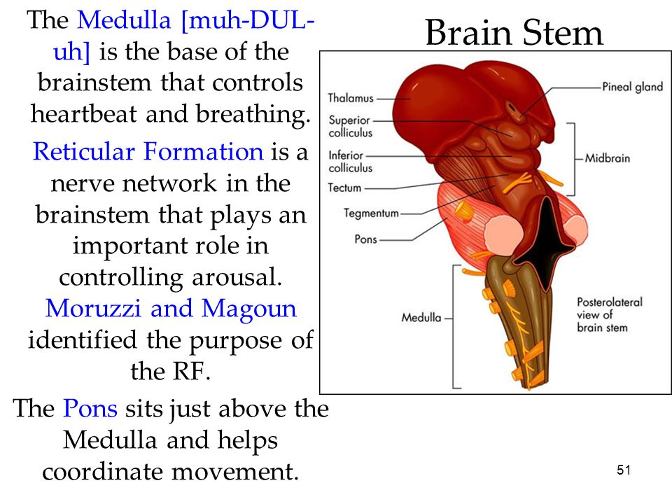 The Pons sits just above the Medulla and helps coordinate movement.