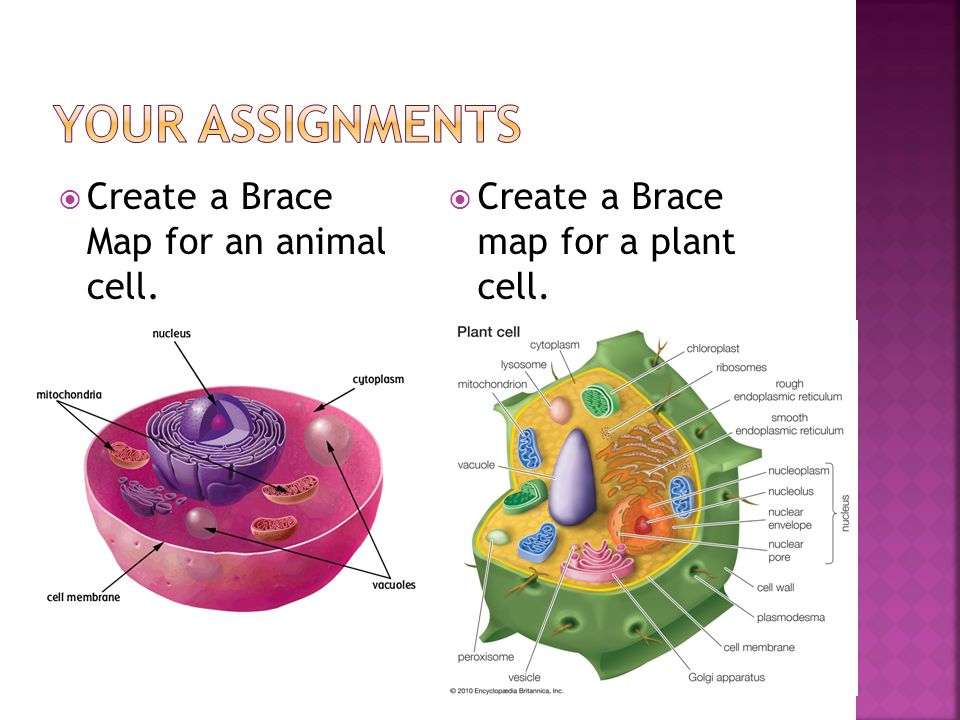Your Assignments Create a Brace Map for an animal cell.