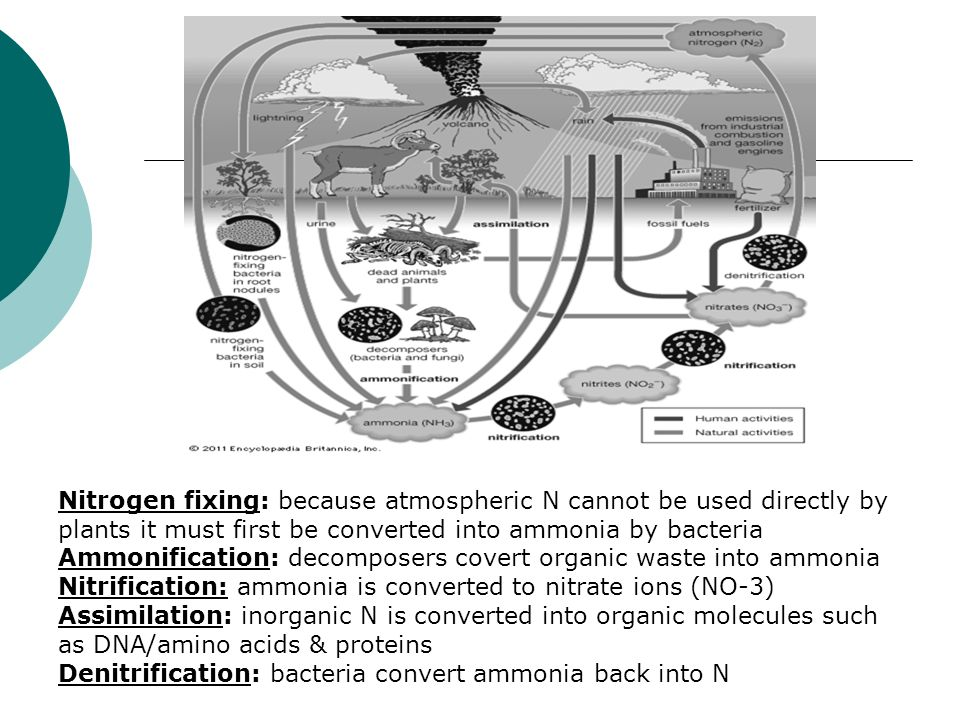 Nitrogen fixing: because atmospheric N cannot be used directly by plants it must first be converted into ammonia by bacteria Ammonification: decomposers covert organic waste into ammonia Nitrification: ammonia is converted to nitrate ions (NO-3) Assimilation: inorganic N is converted into organic molecules such as DNA/amino acids & proteins Denitrification: bacteria convert ammonia back into N
