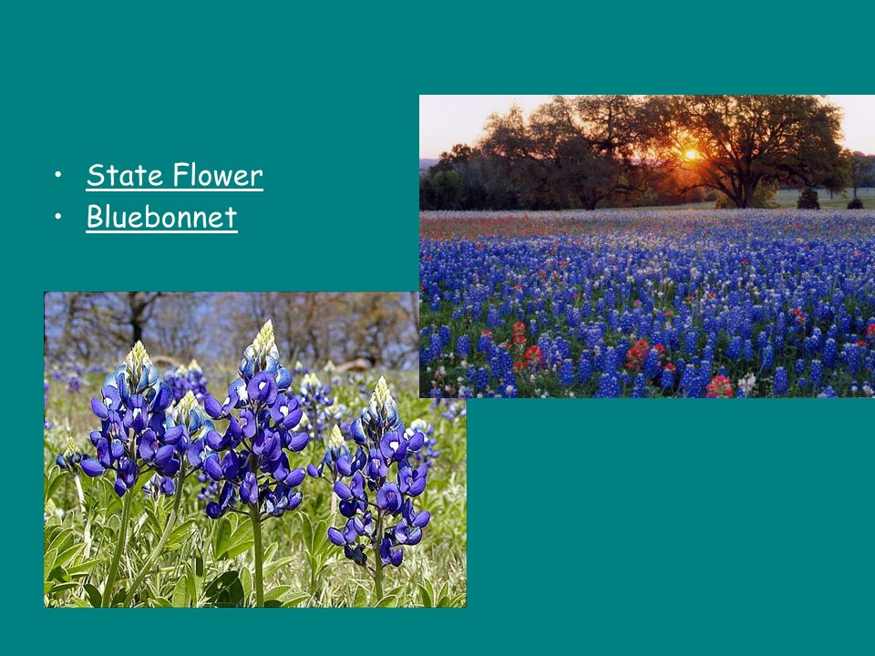 State Flower Bluebonnet