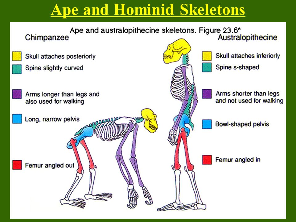 Ape and Hominid Skeletons