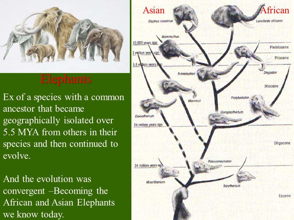 Elephants Asian African