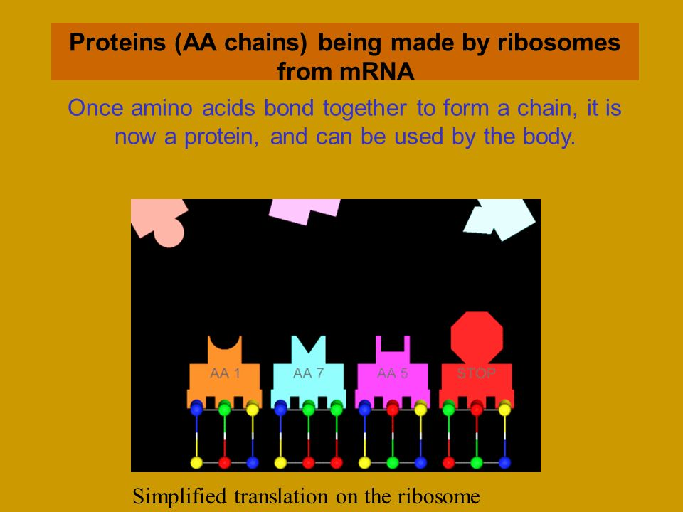 Proteins (AA chains) being made by ribosomes from mRNA