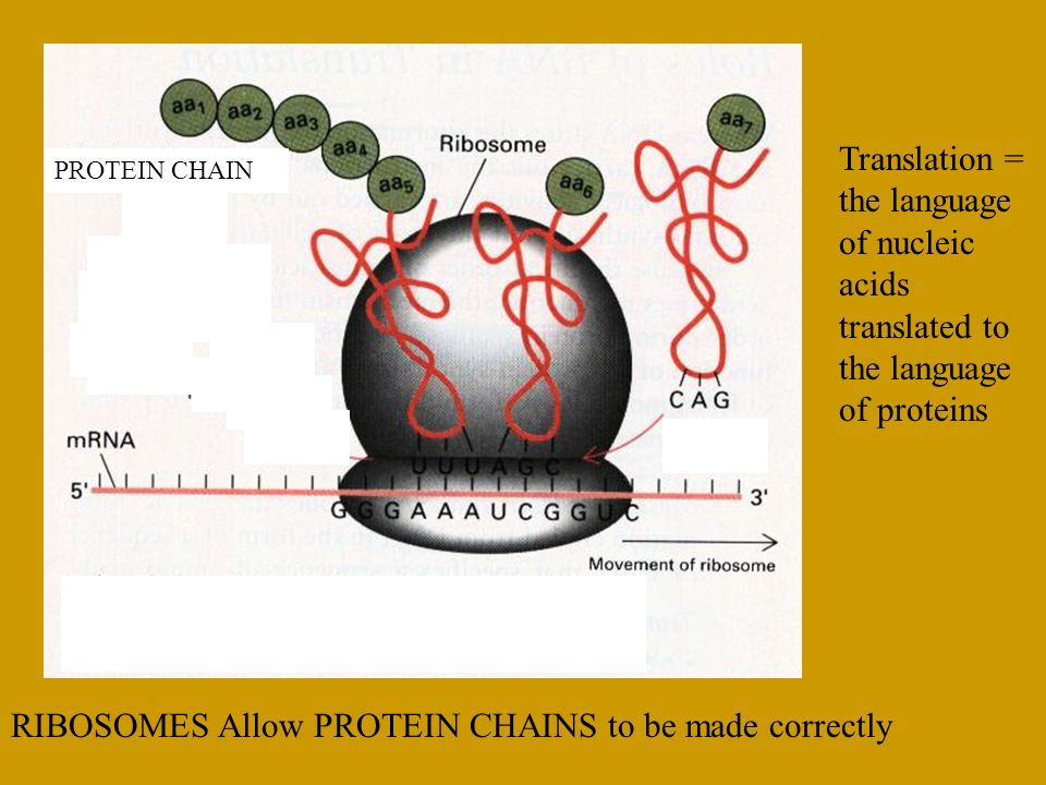 Translation = the language of nucleic acids translated to the language of proteins
