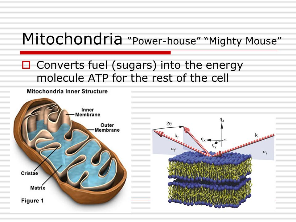 Mitochondria Power-house Mighty Mouse