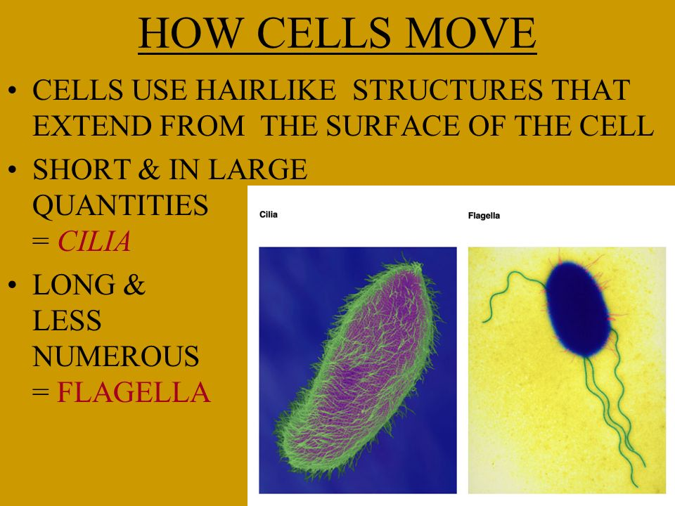 HOW CELLS MOVE CELLS USE HAIRLIKE STRUCTURES THAT EXTEND FROM THE SURFACE OF THE CELL. SHORT & IN LARGE QUANTITIES = CILIA.