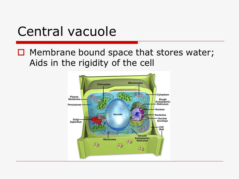 Central vacuole Membrane bound space that stores water; Aids in the rigidity of the cell