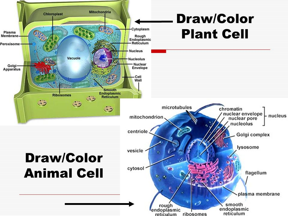 Draw/Color Animal Cell