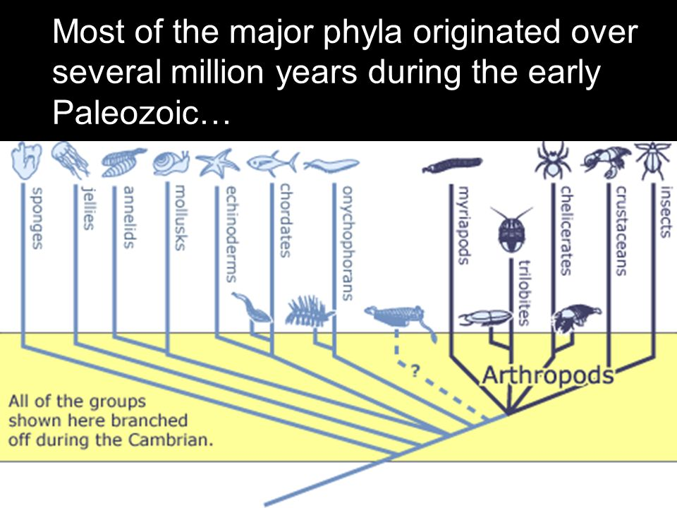 Most of the major phyla originated over several million years during the early Paleozoic…