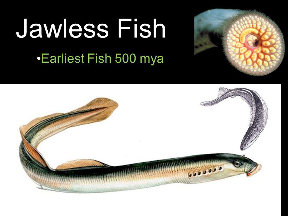 Jawless Fish Earliest Fish 500 mya 24