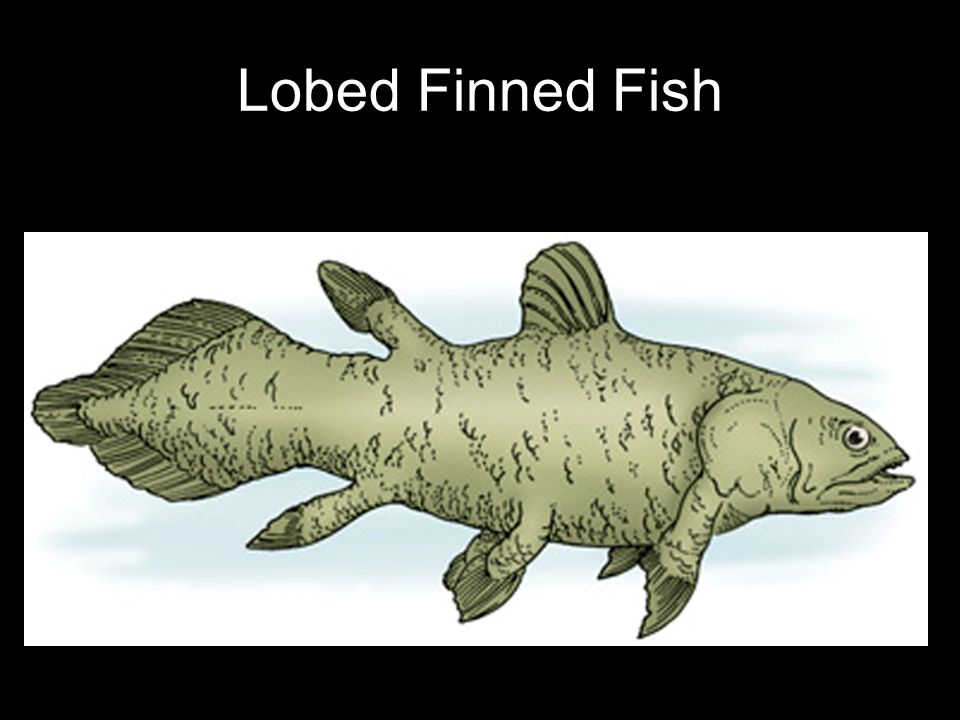 Lobed Finned Fish 26
