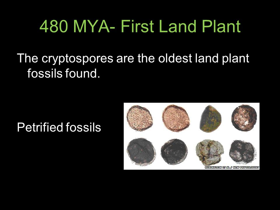 480 MYA- First Land Plant The cryptospores are the oldest land plant fossils found.