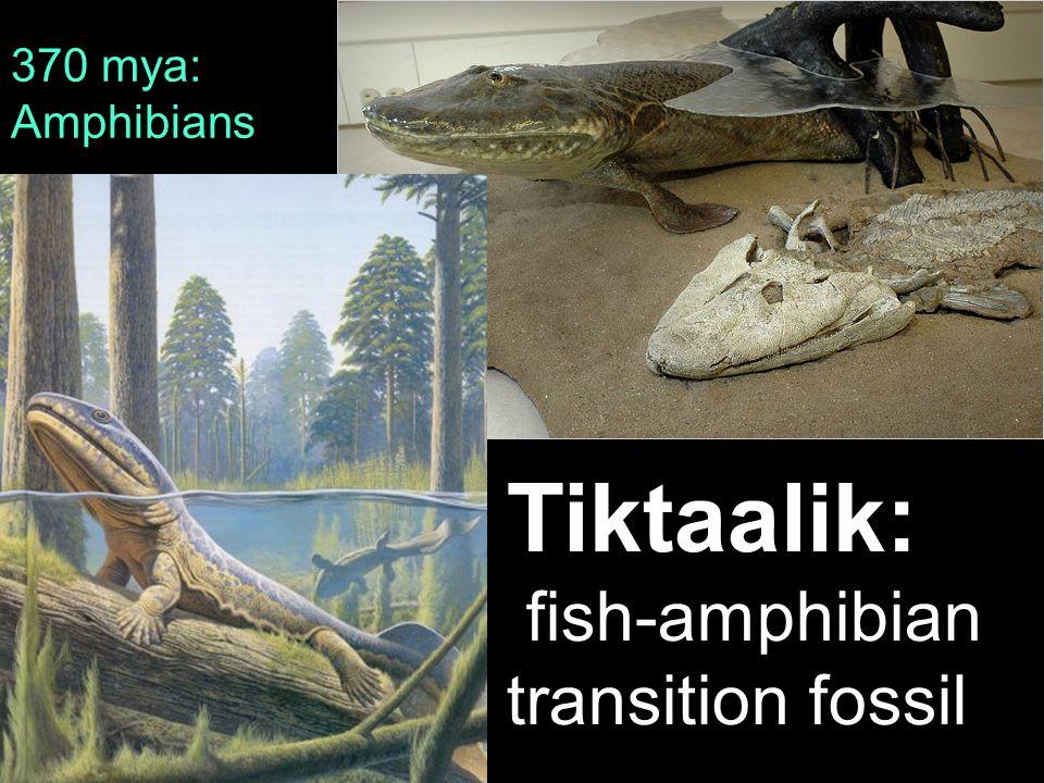 370 mya: Amphibians Tiktaalik: fish-amphibian transition fossil 34