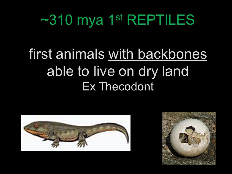 ~310 mya 1st REPTILES first animals with backbones able to live on dry land Ex Thecodont
