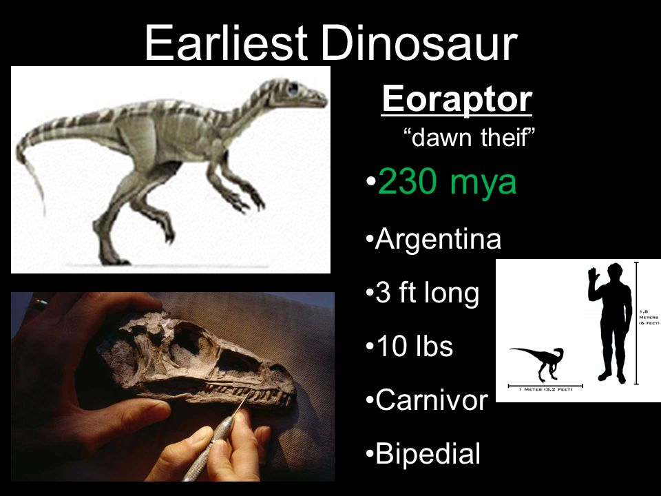 Earliest Dinosaur Eoraptor 230 mya Argentina 3 ft long 10 lbs Carnivor
