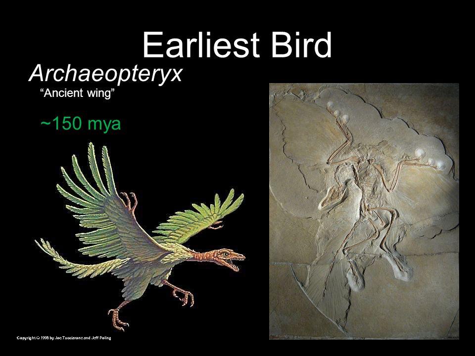 Earliest Bird Archaeopteryx Ancient wing ~150 mya 49