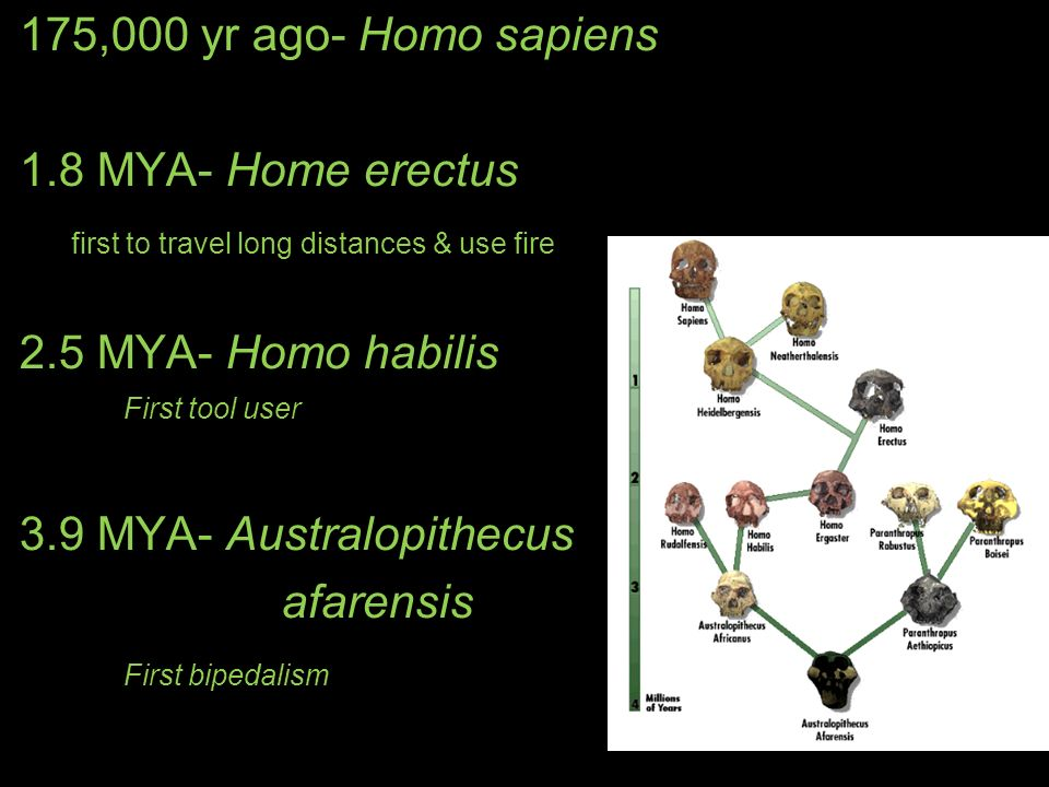first to travel long distances & use fire 2.5 MYA- Homo habilis