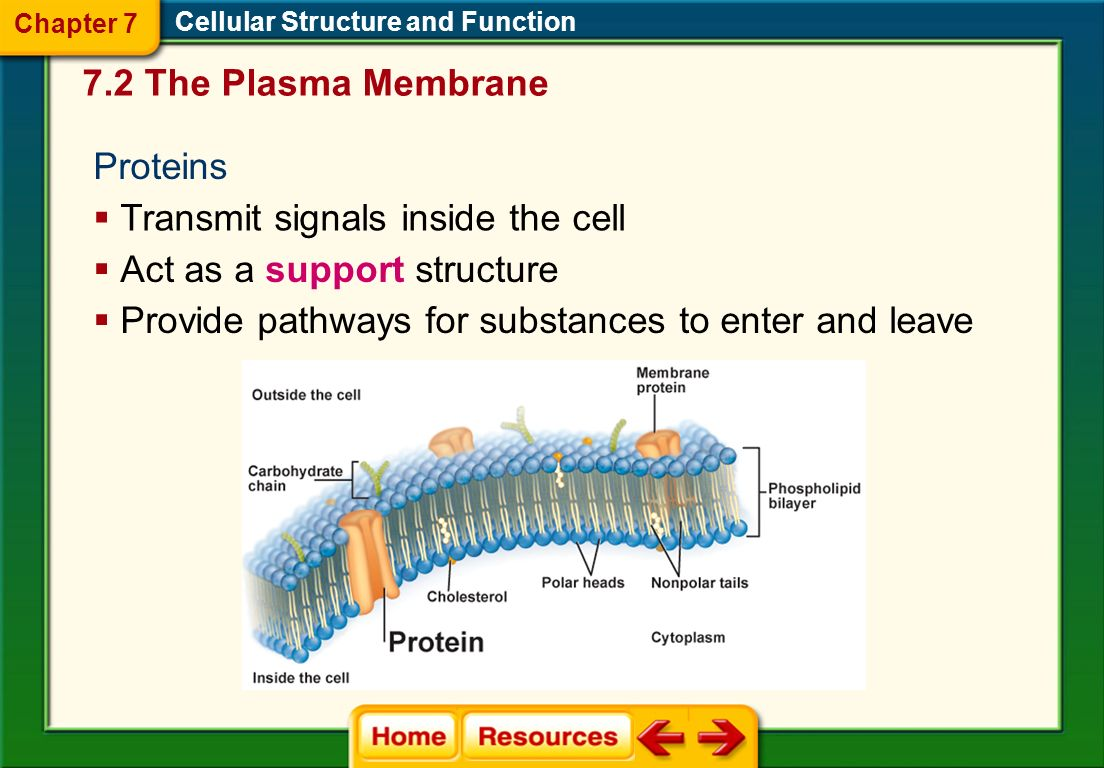 Transmit signals inside the cell Act as a support structure
