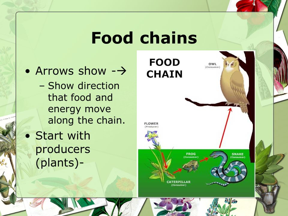 Food chains Arrows show - Start with producers (plants)-